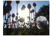 poppy_field.jpg